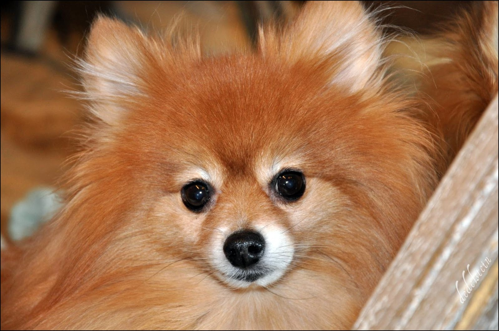 pomeranian faces fox face pomeranian 6735