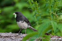 Dark-eyed Junco male hunting caterpillars – space for more – Souris area, PEI – © Kathy McCormack