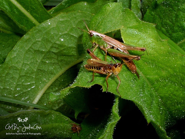 Three's A Crowd Grasshoppers & Spider Photo
