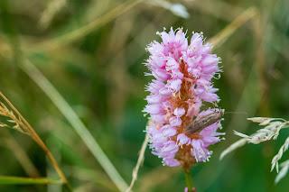 [Polygonaceae] Bistorta officinalis – Meadow Bistort