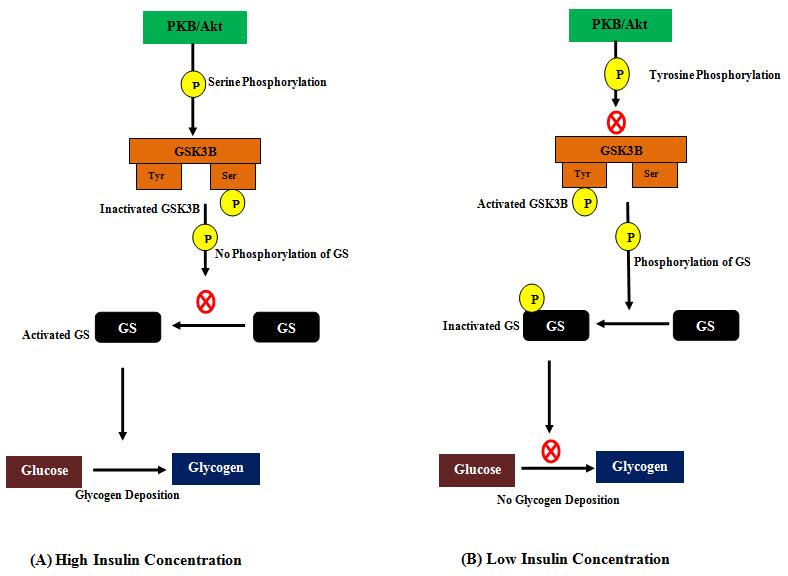 cura de diabetes gsk3b