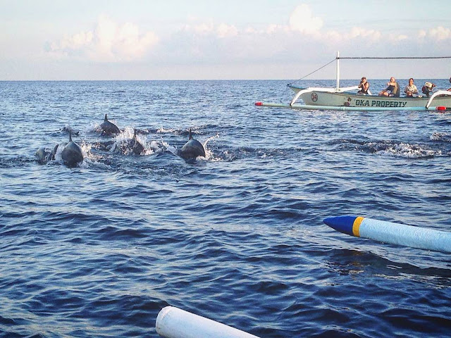 foto lumba lumba di pantai lovina bali
