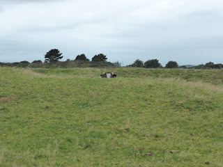 Cow peeping over hillock