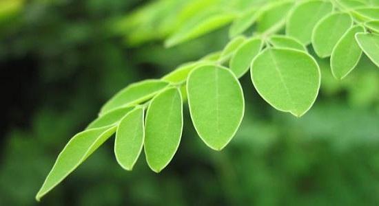 manfaat daun kelor dan tangkainya