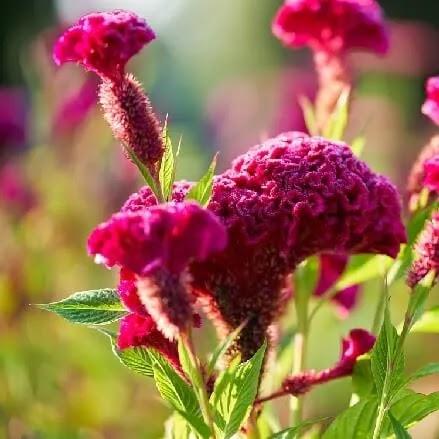 कुरदा, Cockscomb flowers name in Marathi