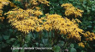 Ligularia Desdemona