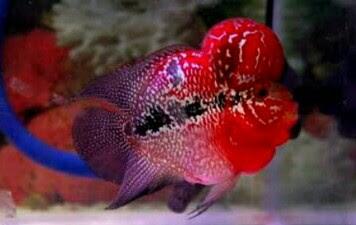 ikan louhan bonsai kamfa