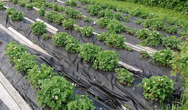 Jordbær dyrket i jordbærduk