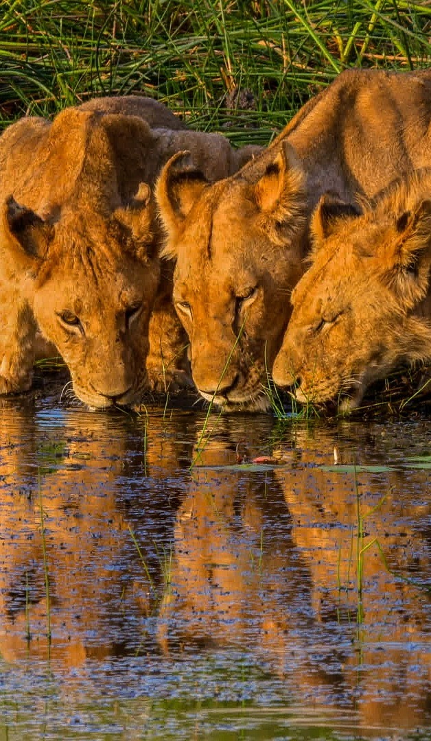 Lionesses quenching their thirst.