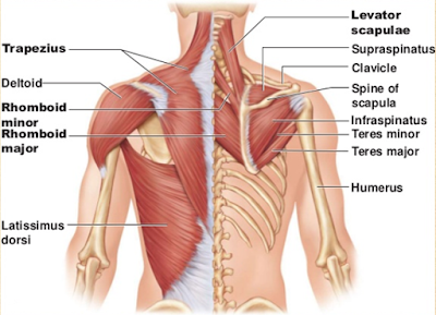 Pay attention to the upper back muscles