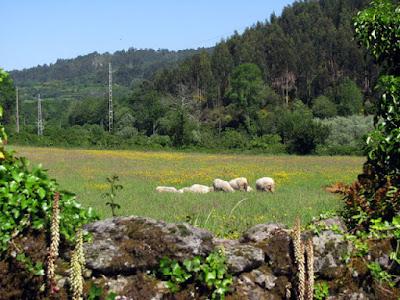 ovelhas pastando