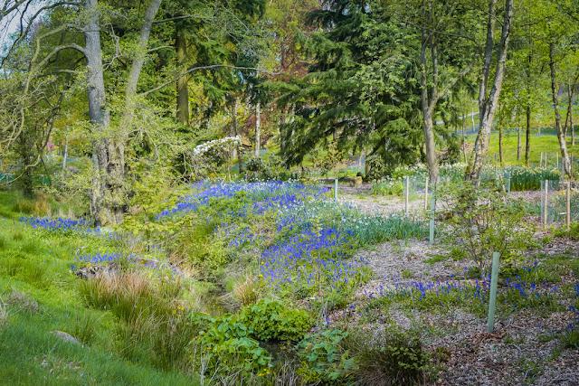 Himalayan Garden and Sculpture Park bluebells in grass