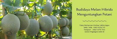 melon pertiwi, jual melon hibrida terbaik, jual benih berkualitas pertiwi, budidaya melon, toko pertanian, toko online, lmga agro