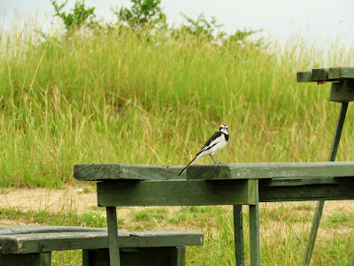 Uganda Birds: African Pied Wagtail