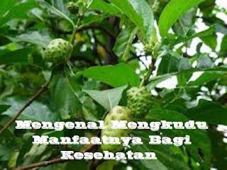 Mengkudu (Morinda citrifolia) tergolong dalam famili Rubiaceae (suku tumbuhan berbunga) ternyata memiliki berbagai khasiat dan manfaat lainnya bagi kesehatan.