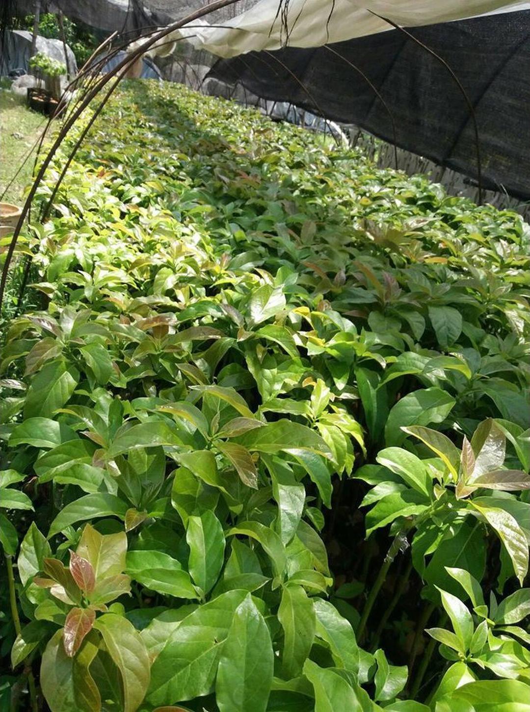 Obral! New bibit tanaman buah alpukat shepard Kota Bandung #bibit buah genjah murah