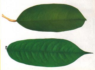 Perbedaan Daun Durian Pelangi dengan Durian Yang Lain