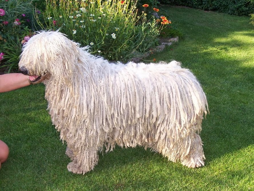 Beautiful corded Komondor