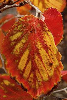 Witch Hazel (Hamamelis mollis x japonica)