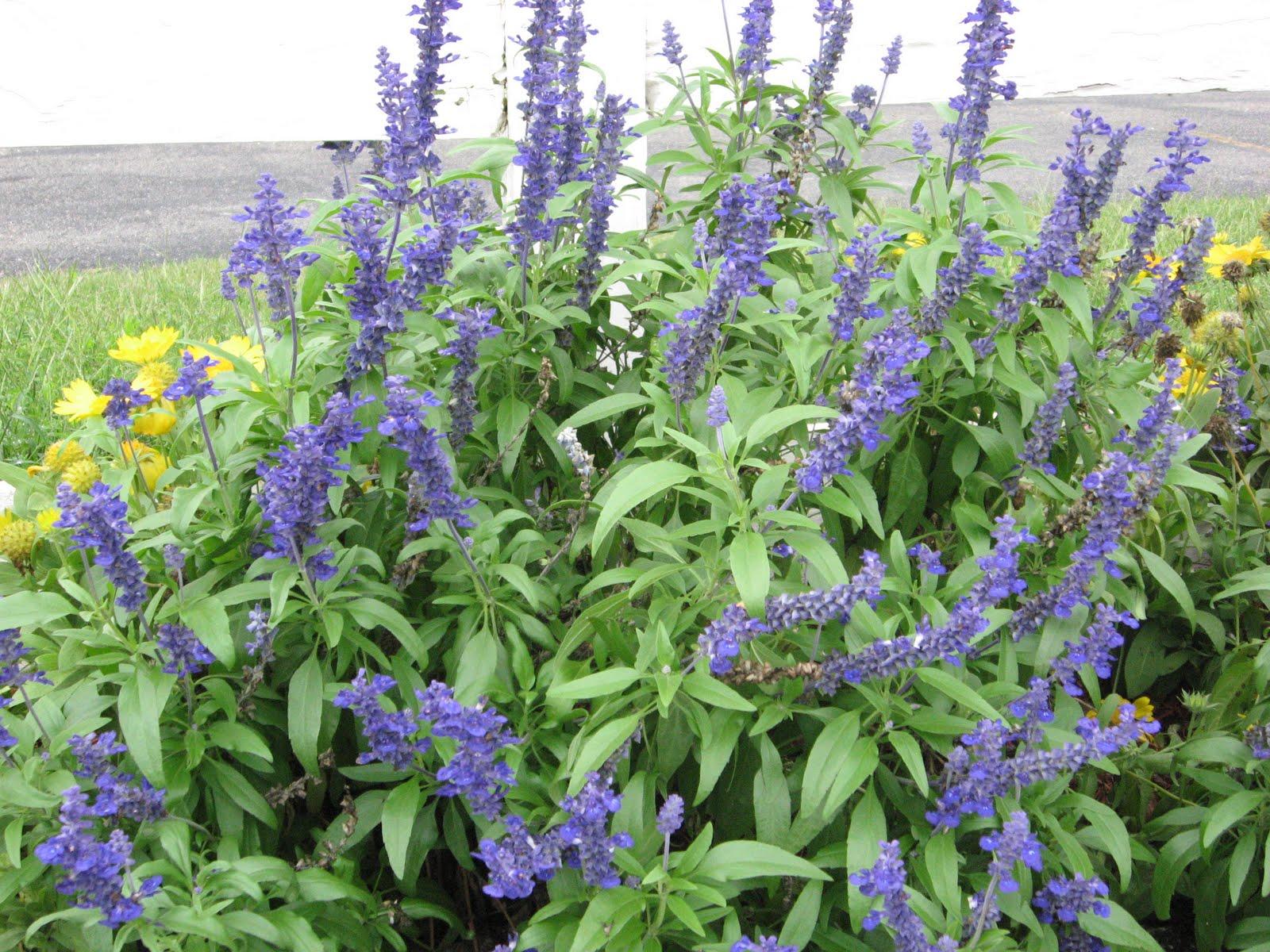 A. J. Rahn Greenhouses: Annual Blue Salvia