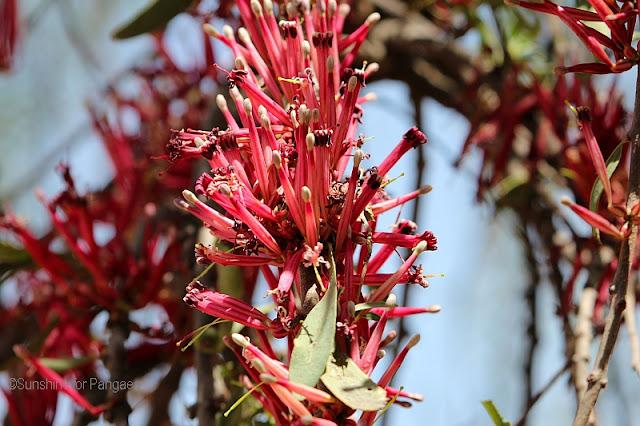 Tapinanthus globiferus