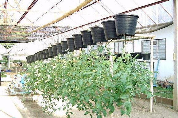 วิธีปลูกพืชแบบกลับหัวเป็นอีกทางเลือกหนึ่งของการเพาะปลูก เพราะช่วยให้พืชเจริญเติบโตได้ดี