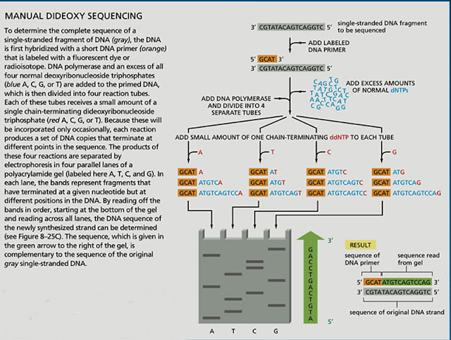 Manual Dideoxy (Sanger) Sequencing (Source: Garland Science, 6th edition, page 478)