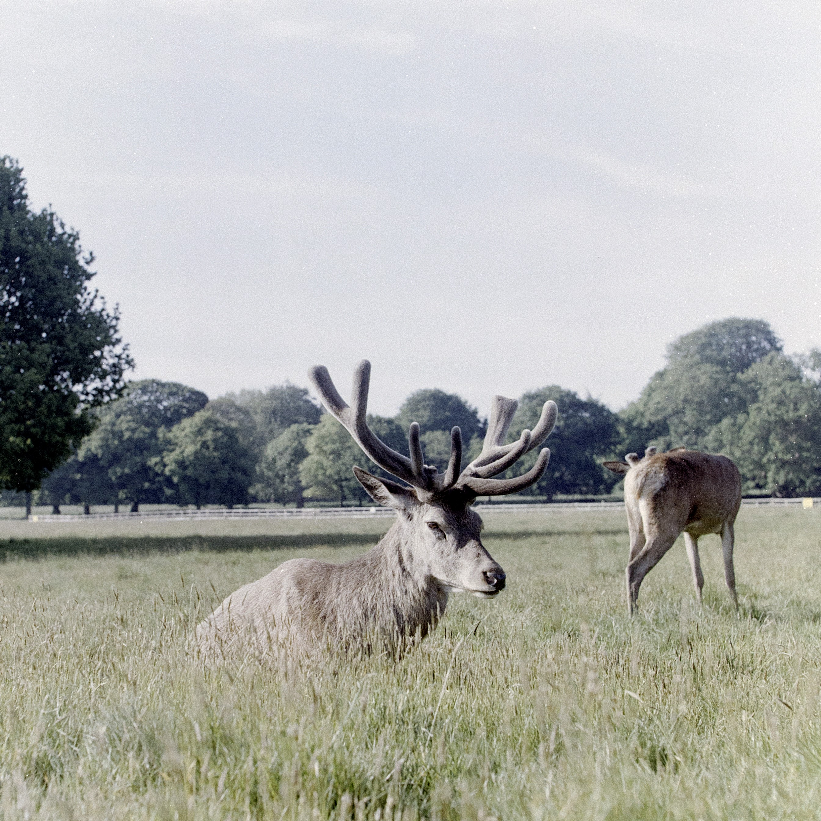 Deer sat in a field taken with lomochrome metropolis film
