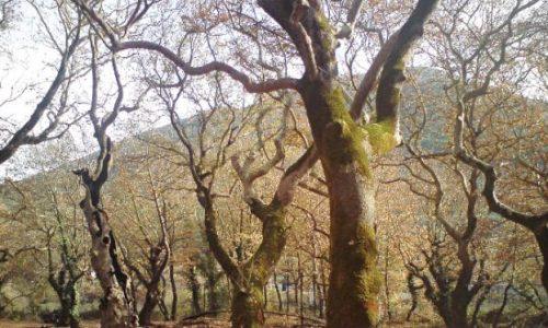 Η επέλαση του μεταχρωματικού έλκους συνεχίζεται αποδεκατίζοντας τα πλατανοδάση της Ηπείρου. Τα αιτήματα που φτάνουν στις υπηρεσίες της Περιφέρειας και αφορούν την απομάκρυνση νεκρών δέντρων είναι πολλά κι αφορούν σε κάθε γωνιά της Ηπείρου.