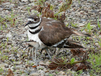 Killdeer covering its chicks, Ryan Hodnett