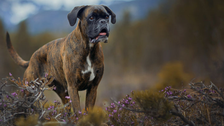 funniest boxer dogs