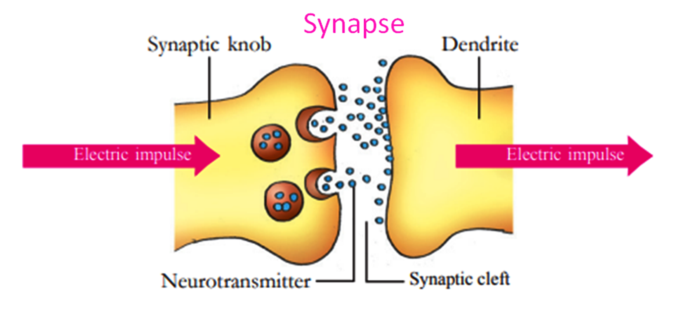 What is Synapse