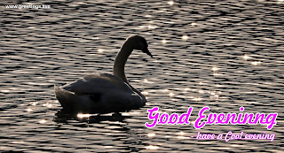 good evening sunset water swan