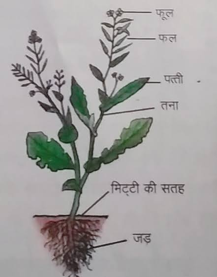पौधे के भाग एवं उनके कार्य