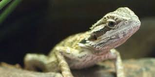 How many locusts to feed a baby bearded dragon?