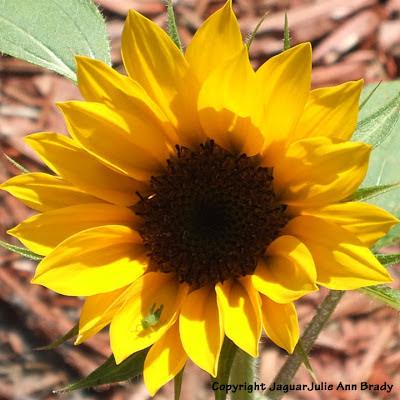 Little green grasshopper on my yellow sunflower blossom