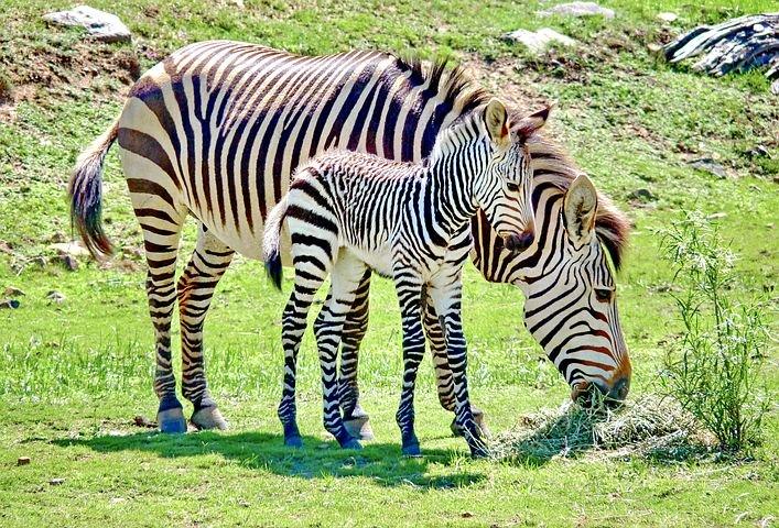 ज़ेबरा के बारे में मजेदार तथ्य - Interesting Facts about Zebra in Hindi