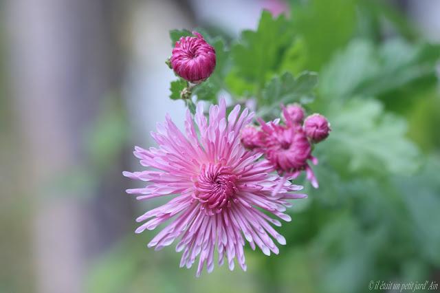 chrysanthème rose empereur