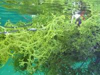Sudah Tau Budidaya Rumput Laut di Indonesia? Cek Artikel Berikut!