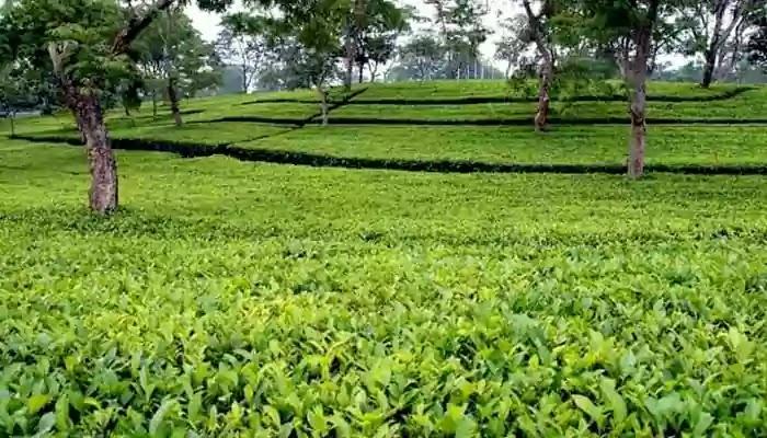 """বকশীগঞ্জের পাহাড়ি জমিতে উৎপাদন হবে অর্থকারী ফসল """"চা"""""""