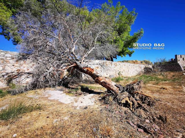 Πτώση δέντρου στην Ακροναυπλία