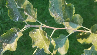 Ash from Forest fires gathering on tree leaves. Photo credit: Susan Carter