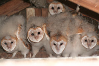 Barn Owl owlets shedding their down Rainbow, CA –photo by chdwckvnstrsslhm