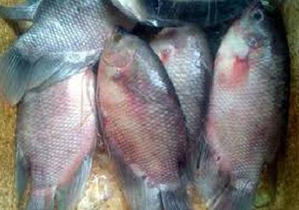 Distributor Peternakan Ikan Gurame Jual Ikan Air Tawar Jabodetabek