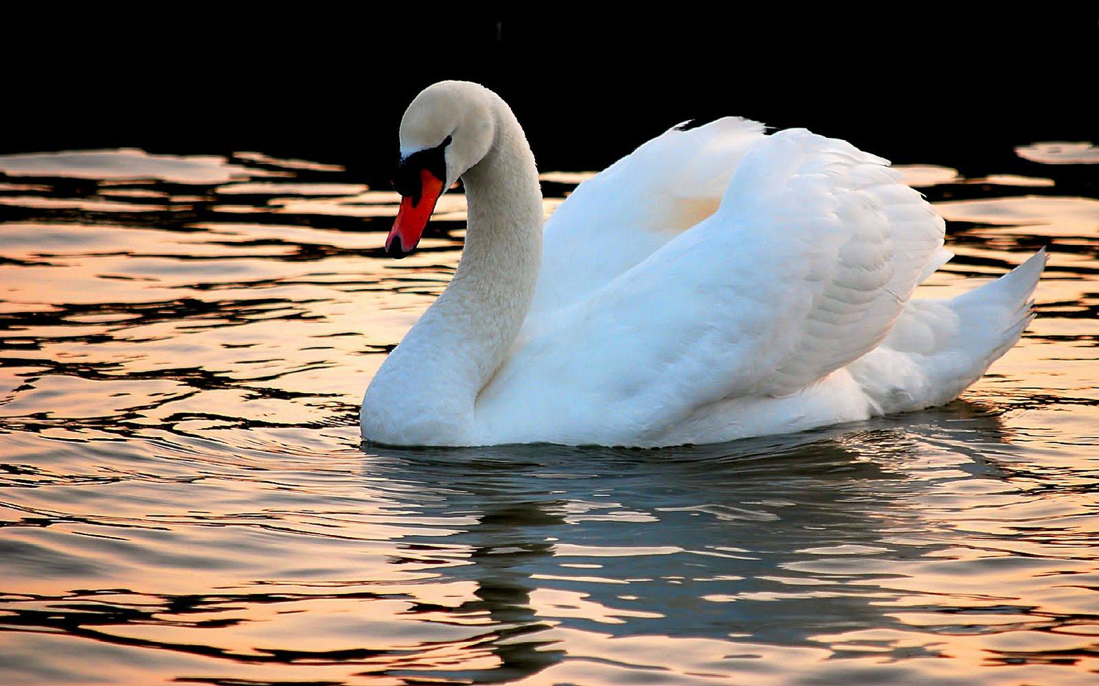 Swan photos hd lake wallpapers desktop wallpapers - Swan wallpapers for desktop ...