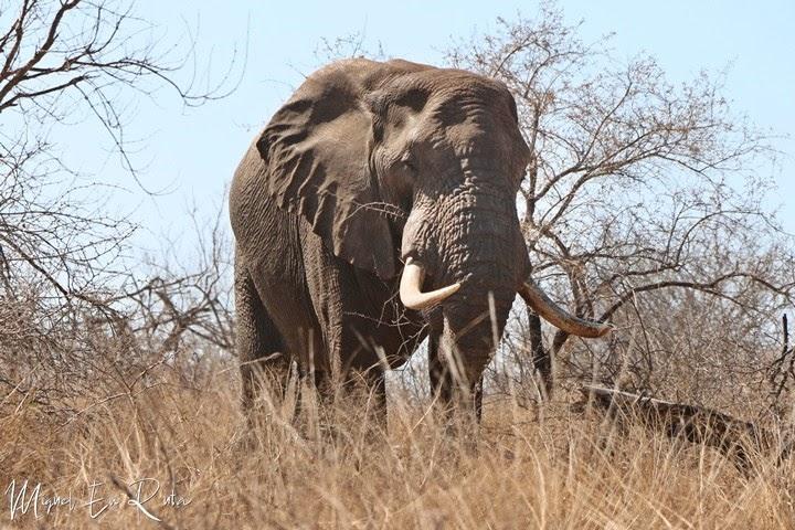 Elefante-adulto-Kruger