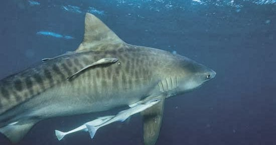 Rules of the Jungle: Symbiotic relationship of remora and shark - photo#28