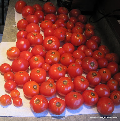 Trim tomatoes for maximum tomato production