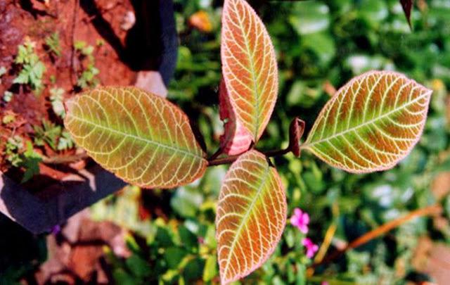 Cây Khôi - Ardisia sylvestris - Nguyên liệu làm thuốc Chữa Đau Dạ Dày