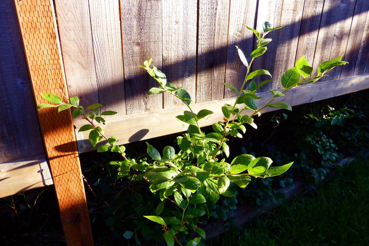 blueberry, blueberries, blueberry bush, blueberry bush branch, blueberry branch